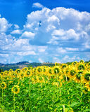 Beautiful sunflowers field Royalty Free Stock Images