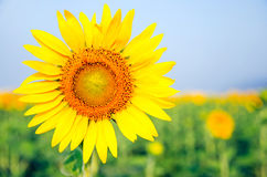 Beautiful sunflowers in the field. Close up sunflowers in the field Royalty Free Stock Photography