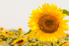 Beautiful Sunflowers Field Stock Photo