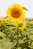 Beautiful Sunflowers Field Royalty Free Stock Photography