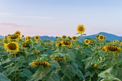 Beautiful sunflowers in the field. Mountain Stock Image