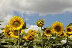 Beautiful sunflowers field at my home stock photos