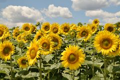 Beautiful sunflowers field at my home royalty free stock photos