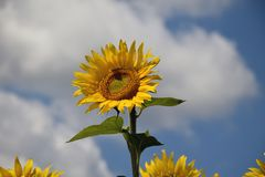Beautiful sunflowers field at my home royalty free stock image