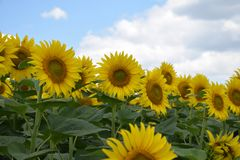 Beautiful sunflowers field at my home royalty free stock photo
