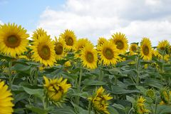 Beautiful sunflowers field at my home stock photo