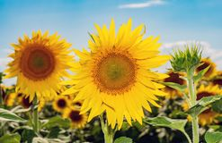Beautiful sunflowers in the field natural background Stock Photos