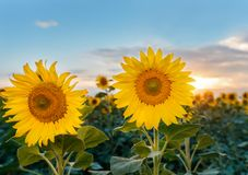 Beautiful sunflowers in the field natural background, Sunflower blooming Stock Photos