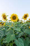 Beautiful sunflowers in the field. Sky Royalty Free Stock Images