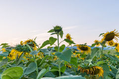 Beautiful sunflowers in the field Stock Photos