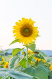 Beautiful sunflowers in the field Royalty Free Stock Photography