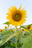 Beautiful sunflowers in the field. And sky Stock Photos