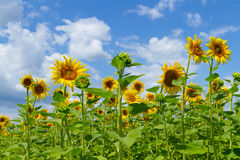 Beautiful of sunflowers Royalty Free Stock Photography