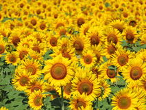 Beautiful sunflowers. Field in summer Stock Photography