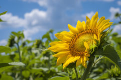 Beautiful sunflowers field Stock Images