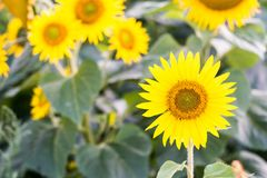 Beautiful sunflowers at field. Sunny afternoon in Poland royalty free stock images