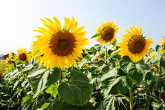 Beautiful sunflowers at field Royalty Free Stock Photos