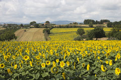 Beautiful sunflowers fields in Umbria Stock Photography