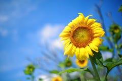Beautiful sunflowers Stock Images