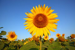 Beautiful sunflowers in garden Stock Images