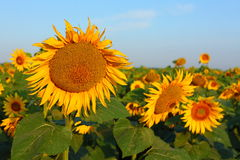 Beautiful sunflowers in garden Royalty Free Stock Photography
