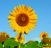 Beautiful sunflowers in garden Royalty Free Stock Images