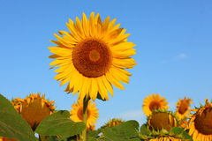 Beautiful sunflowers in garden Royalty Free Stock Image