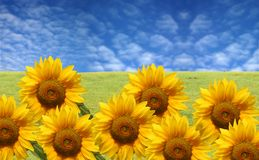 Beautiful sunflowers with green grass and blue sky Stock Photo