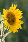 Beautiful sunflowers grow on the field, wonderful evening light. Stock Image