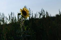 Beautiful sunflowers grow on the field, wonderful evening light. Royalty Free Stock Image