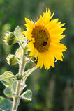Beautiful sunflowers grow on the field, wonderful evening light. Stock Photo