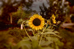 Beautiful sunflowers in jungle. Royalty Free Stock Images