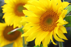 Beautiful sunflowers Royalty Free Stock Photo