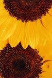 Beautiful sunflowers petals - Detail Stock Photography