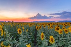 Beautiful sunflowers in spring field and the plant of sunflower. Is wideness plant in travel location Stock Photography