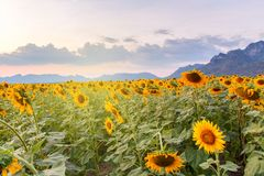 Beautiful sunflowers in spring field and the plant of sunflower. Is wideness plant in travel location Stock Images