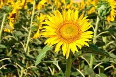 Beautiful sunflowers in summer season Royalty Free Stock Photo