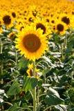 Beautiful sunflowers during summer season Stock Photography