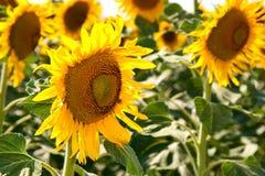 Beautiful sunflowers in summer season Stock Images