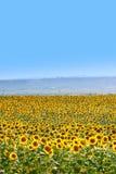 Beautiful sunflowers in summer season Royalty Free Stock Photos
