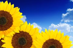 Beautiful sunflowers in a sunny day Stock Images