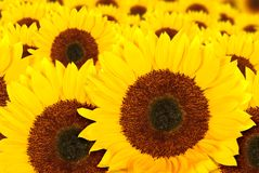 Beautiful sunflowers in a sunny day Royalty Free Stock Photo