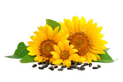 Beautiful sunflowers on a white background. Royalty Free Stock Images