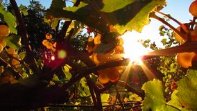 Beautiful sunlight coming through vine stock footage