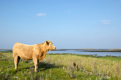 Beautiful sunlit cow Royalty Free Stock Photo