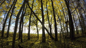 Beautiful sunlit day in  autumn aspen forest and wind. Timelapse 4K stock footage