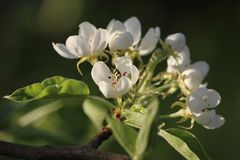 Beautiful Sunlit White Pear Blossom royalty free stock images