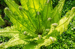 Beautiful sunlit young green  fern Royalty Free Stock Images