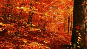 Beautiful sunny day in the autumn golden forest stock photography
