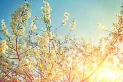 Beautiful sunny background of blossoming cherry tree branches stock image
